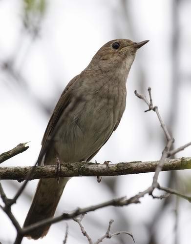 фото поганка птица
